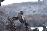 Cormorant des Galápagos