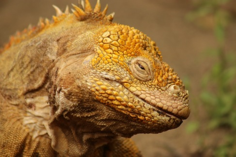 Iguane terrestre stoned
