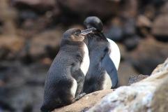 Jeunes manchots des Galápagos