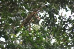 Le saut du singe écureuil