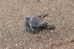 Bébé tortue en route pour la liberté