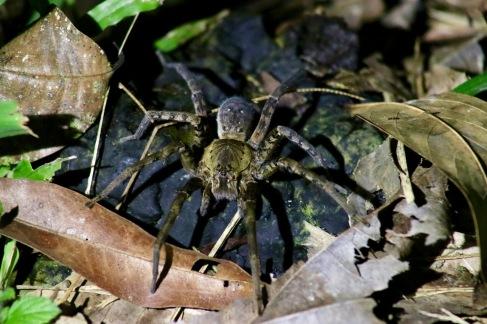 araignée inoffensive