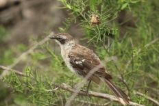 Mockingbird des Galápagos
