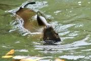 Otarie qui nage sur le dos