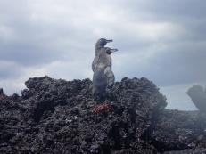 Pingouin des Galápagos