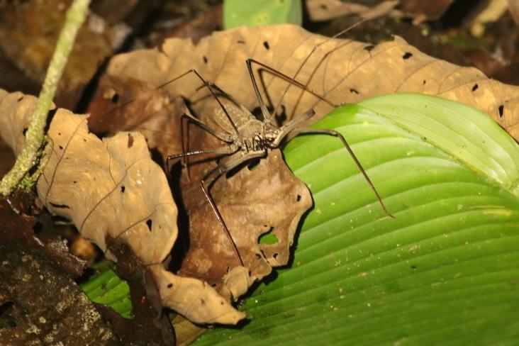 Araignée scorpion