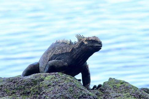 Iguane marin qui sourit