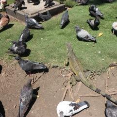 Parc des iguanes