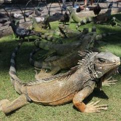 Iguane de Guayaquil