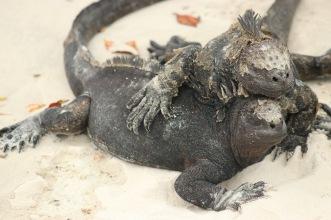 Le câlin des iguanes
